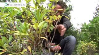 Hoe kan ik een rhododendron snoeien? - Tuinieren.nl