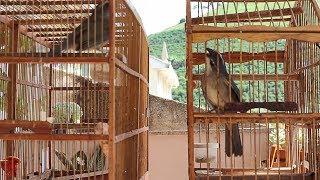 TRINCA FERROS DISPUTANDO (((CANTANDO, MACHEANDO E PIANDO))) MAGNATA VS FALCÃO
