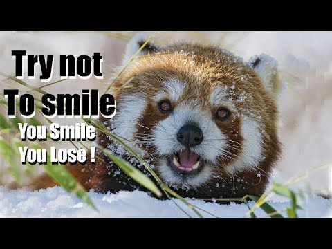 Funny red panda videos | Try not to laugh or smile | 2018 ( Winter edition for Christmas )