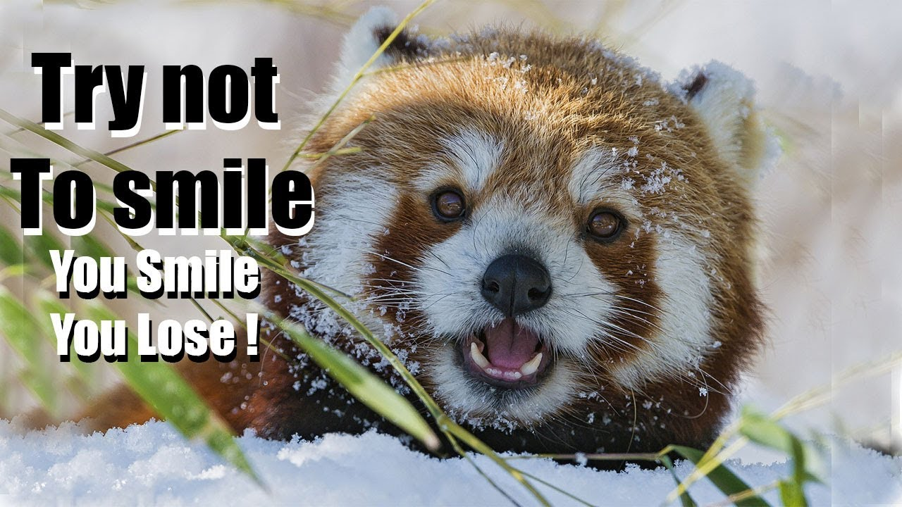 Funny Red Panda Videos Try Not To Laugh Or Smile 2018 Winter