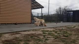 Прогулка с мамой Помет Ю сезона 2019  Есть свободные щенки Доставка по всему миру  Еще больше инфор