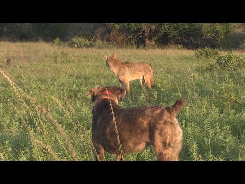 Vocal female coyote puts on a show.