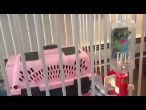 Chrisman Maltese Puppy Training Play Pen