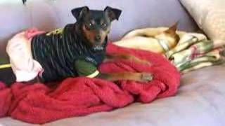 Miniature Pinscher Talks To A Sleeping Chihuahua