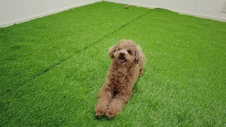 This is what happened to our dog when we made an indoor dog park at home 【Toy Poodle】