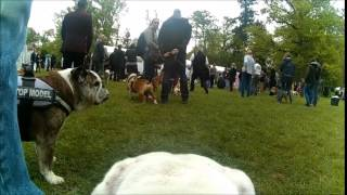 N E Bulldog Anglais 2015   Jack Grand Reporter