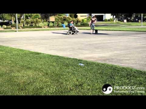 """Dog Training in Medford Oregon: Rebecca & Bo (Schipperke) focusing on """"Heeling"""""""
