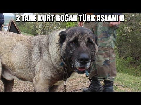2 TANE KURT BOĞAN TÜRK ASLANI !! Efsane Olacak Bir Mücadele #kangal #malaklı #Anadoluçobanköpeği