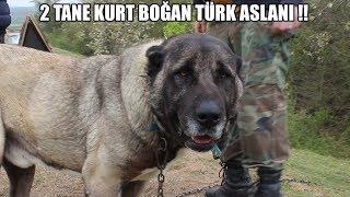 2-tane-kurt-boan-trk-aslani-efsane-olacak-bir-mcadele-kangal-malakl-anadoluobankpei