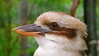 Sydney Birds - Kookaburra