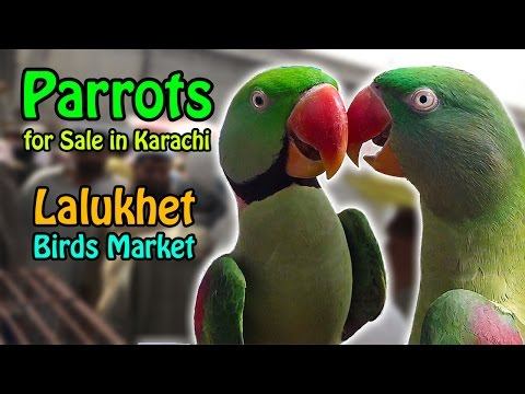 Parrots for Sale in Karachi | Lalukhet Birds Market | video in urdu/hindi