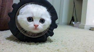 Шотландский вислоухий котенок - смешные коты, кошки и котята 2019 - смешные приколы с котами