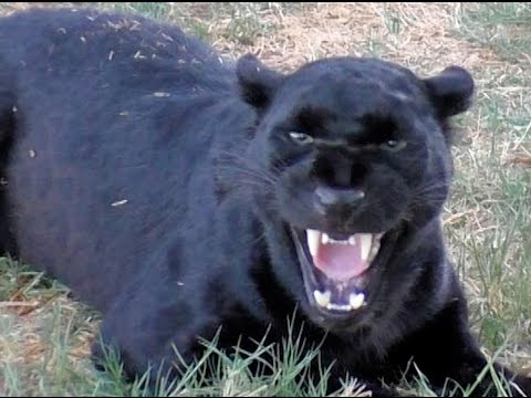 African Black Leopard In Heat - Cat Growls Snarls Displays Runs & Sprays At Big Cat Breeding Center