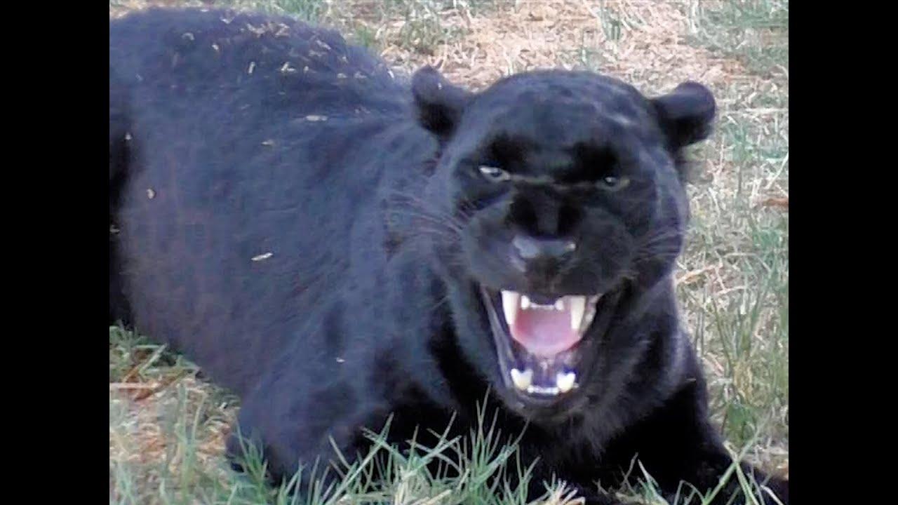 African Black Leopard In Heat - Cat Growls Snarls Displays ... - photo#2
