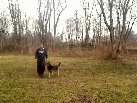 German Shepherd Breeder New York (Hudson Valley)  - Jax Heeling Work
