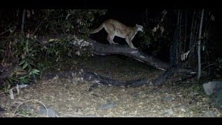 Cat Scratch Fever! Female Mountain Lion on a tree!