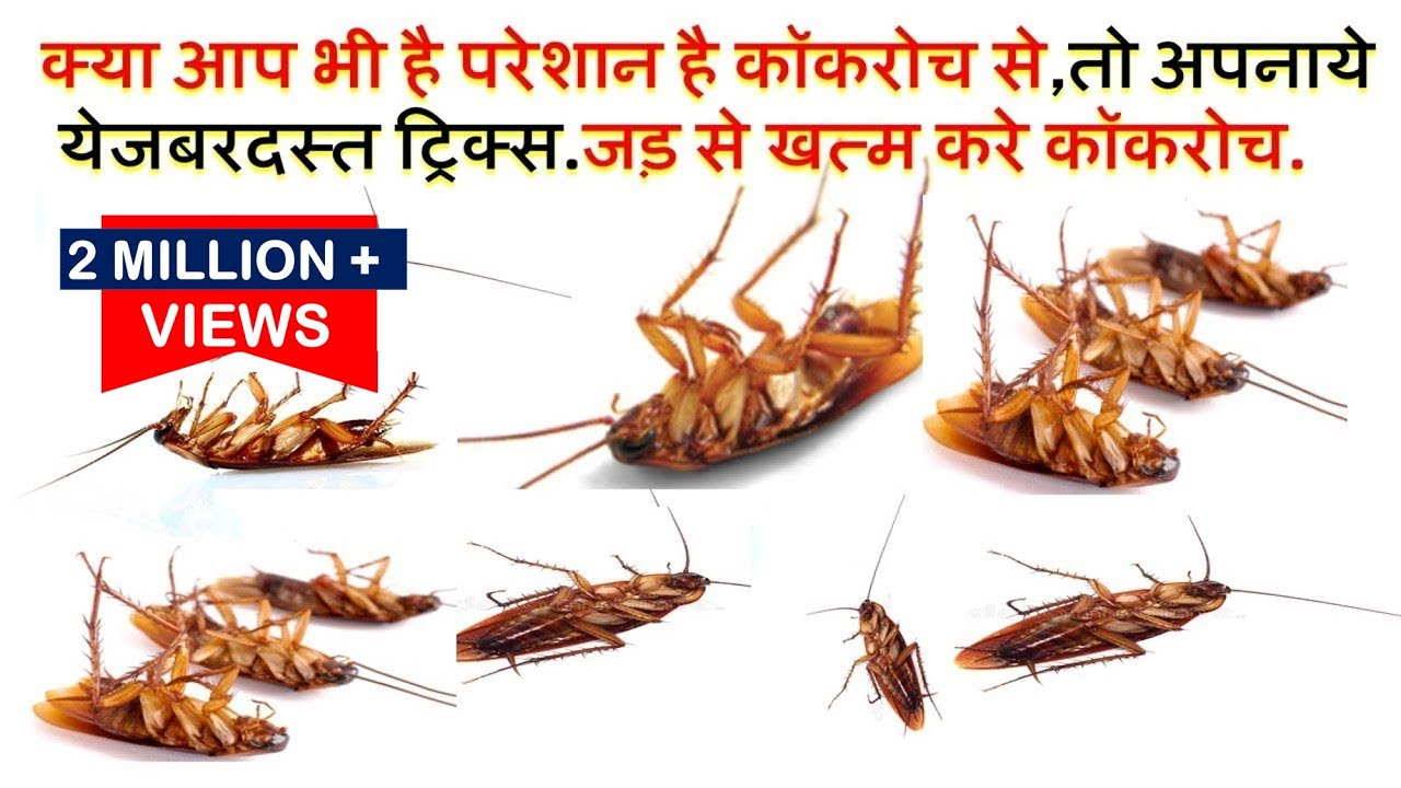 Image result for कॉकरोच