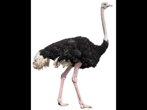 Bird Name- Ostrich