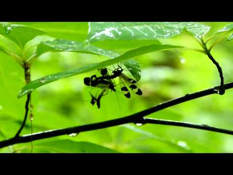 Fighting Males of Japanese Scorpionfly ヤマトシリアゲ♂同士の喧嘩