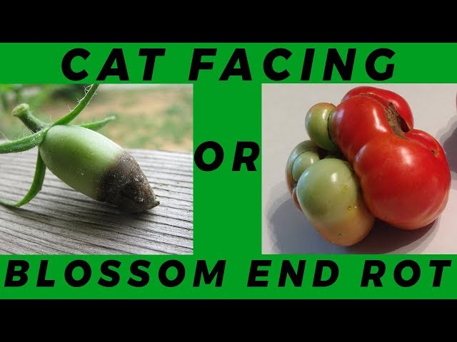 Lesson 1: How to Distinguish Between Blossom End Rot Vs CatFacing on Crops