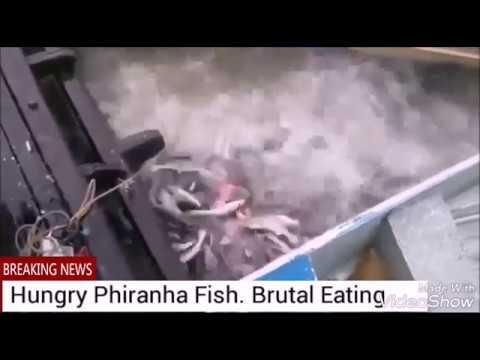 Amazing Hungry Piranha Fish. Very Brutal Eating.