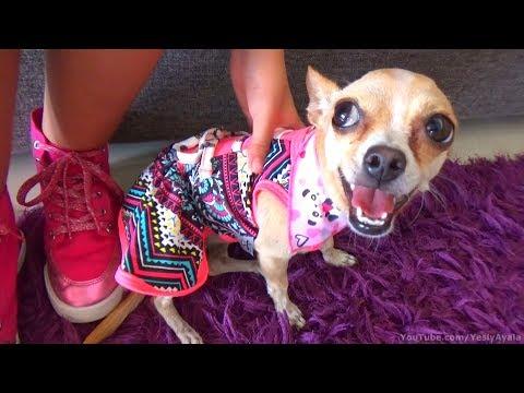 PÍCHU ESTRENANDO VESTIDO | Chihuahua Clothes and Accessories