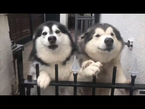 BEWARE OF THE DOG!!! | Alaskan Malamute