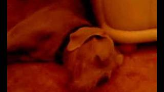 Charlie The Weimaraner Dog making noise while dreaming