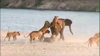 Слоненок против стаи диких кошек.