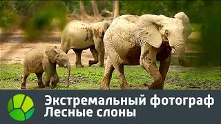 Экстремальный фотограф  Лесные слоны | Живая Планета