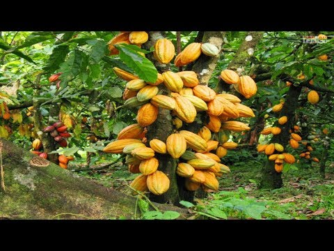 Wow! Amazing Agriculture Technology - Cocoa