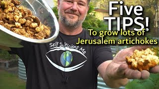 5 Tips How to Grow a Ton of Jerusalem Artichoke/Sunchoke