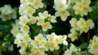 Чубушник в цвету (жасмин)(Подписывайтесь на мой канал https://www.youtube.com/user/VashaNedasha Мой новый веселый канал http://www.youtube.com/user/DaryaMime Мой ..., 2012-07-25T17:19:41.000Z)