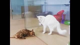 Бенгальская кошка балерина танцует как на сцене