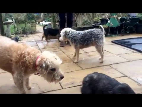 Dolly the Deerhound X Wolfhound Puppy Meets Her New Pack