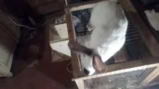 Подкожный , чесоточный клещ у кроликов! Лечение. Часть 2.(, 2017-04-03T07:50:38.000Z)