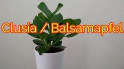 Balsamapfel Clusia pflege gießen düngen vermehren Standort umtopfen Balsamfeige