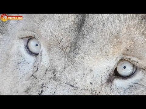 Привет от львов :) Говорушка Лола и Малыш - хозяин вольера :) Тайган. Life of lions. Taigan.