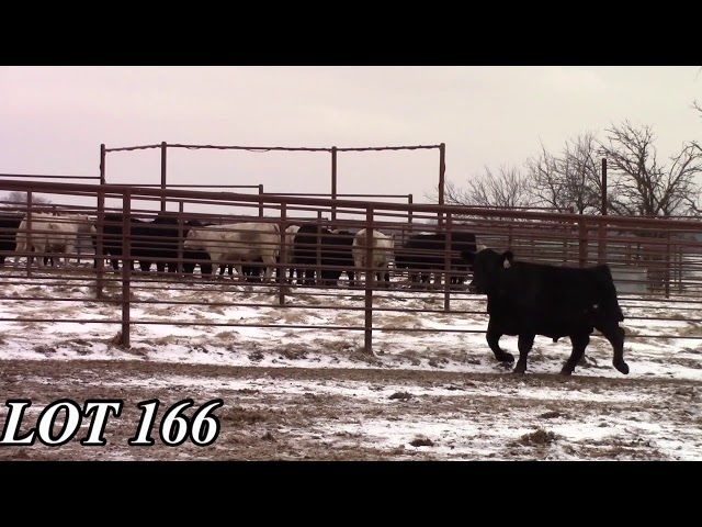Mead Angus Farms Lot 166