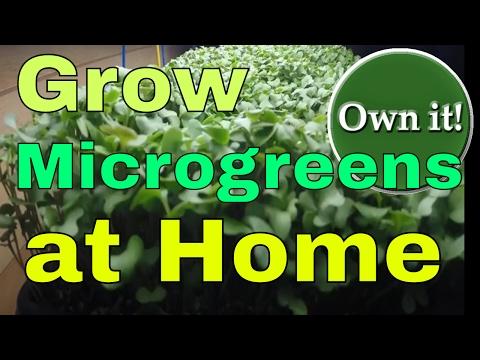Microgreens, Microgreens nutrition, growing Microgreens, sulforaphane, broccoli sulforaphane, Health
