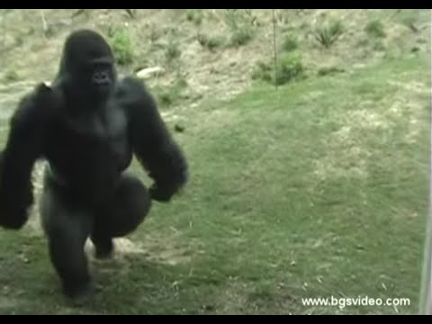 Gorilla Walks/Runs Upright Like a Man (long)