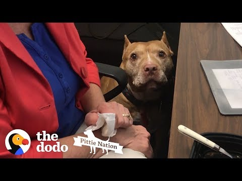 Every Office Should Have a Pittie | The Dodo Pittie Nation