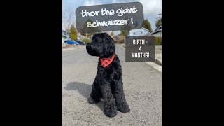 Thor the Giant Schnauzer! Birth to 4  Months!