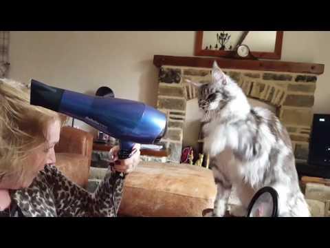 Maine Coon kitten attacking an hairdryer