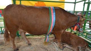 Беларусь. Выставка БелАгро-2014  Крупный рогатый скот