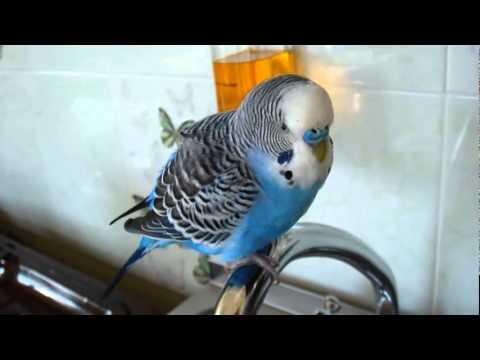 Попугаи неразлучники видео. смотреть онлайн видео от