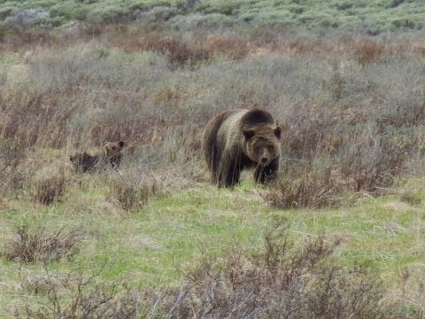 Yellowstone, Grizzly met kids