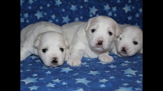 Coton Puppies For Sale - Foxy 11/19/18