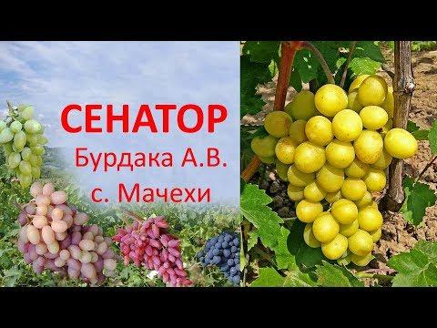 Виноград 2019  Виноград Сенатор  Отзыв о хорошем винограде