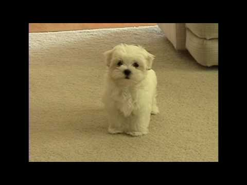 Cute small Maltese puppy barking at funny toy little dog puppies playing bark voice
